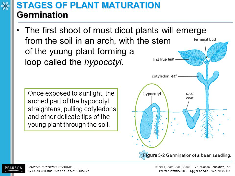 STAGES OF PLANT MATURATION Germination