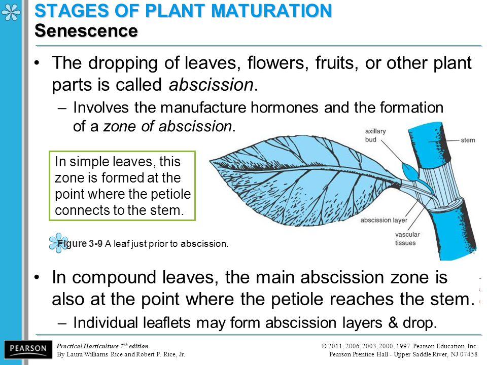 STAGES OF PLANT MATURATION Senescence