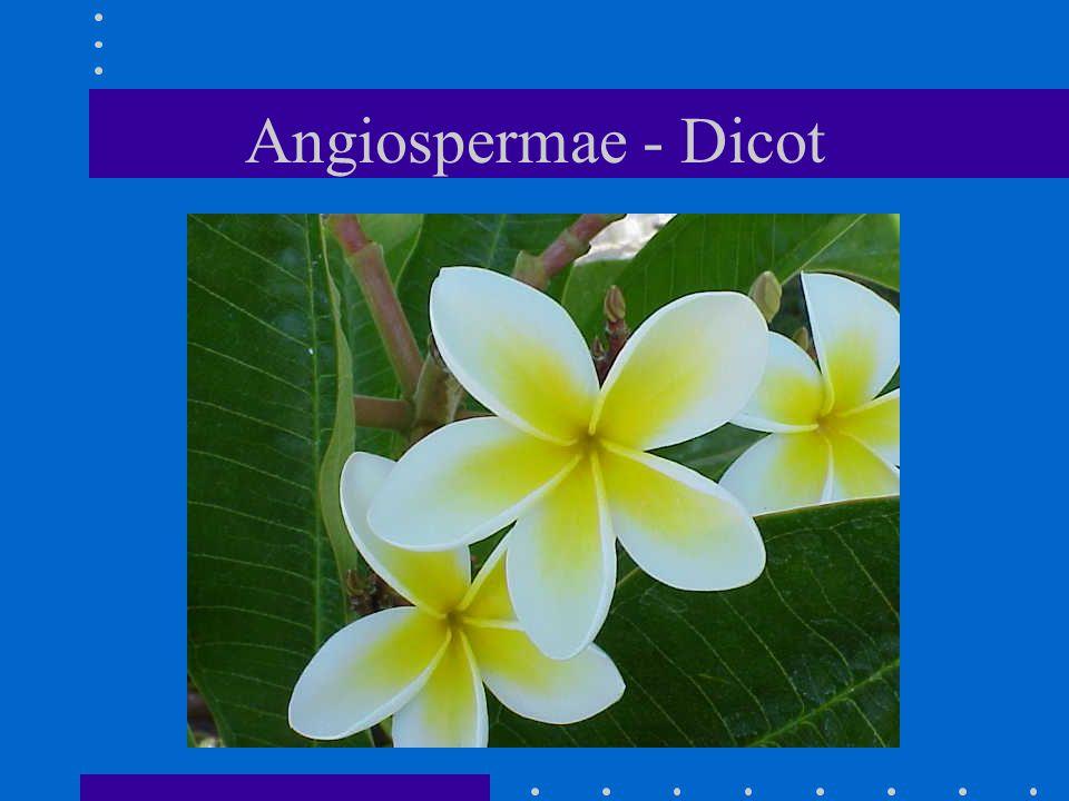 Angiospermae - Dicot