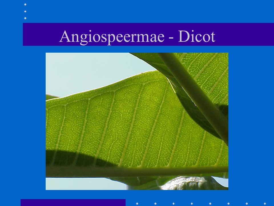 Angiospeermae - Dicot