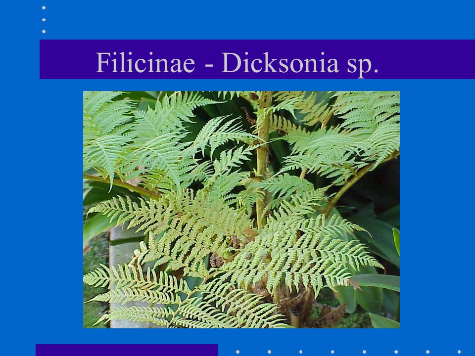 Filicinae - Dicksonia sp.