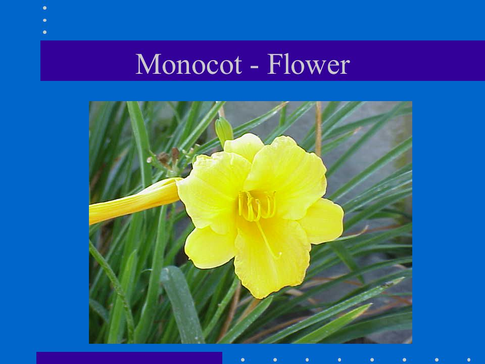 Monocot - Flower
