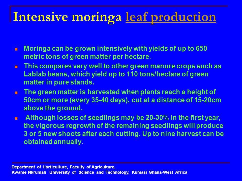 Intensive moringa leaf production