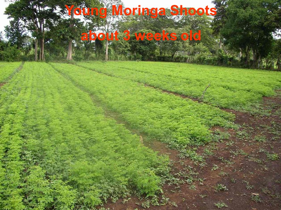 Young Moringa Shoots about 3 weeks old