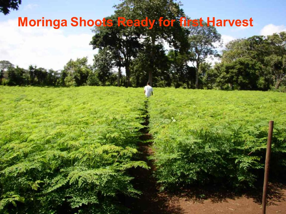 Moringa Shoots Ready for first Harvest