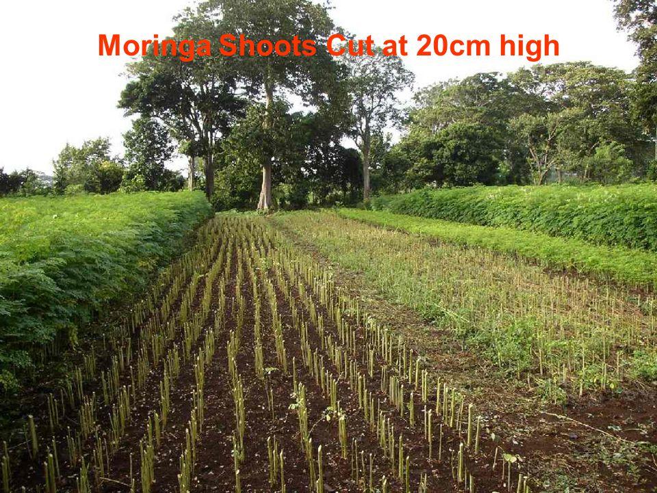 Moringa Shoots Cut at 20cm high