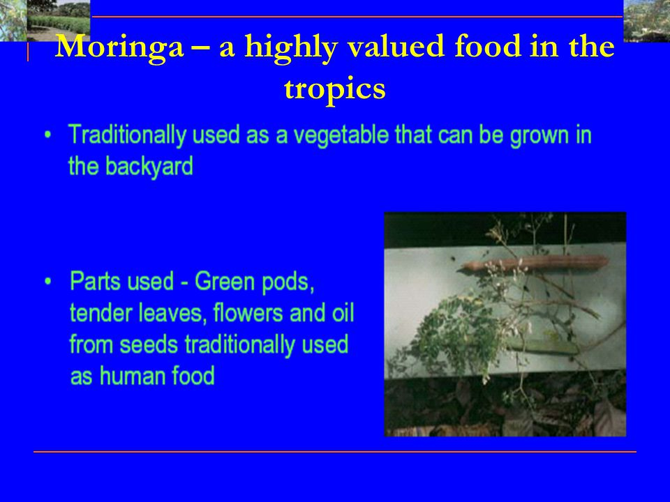 Moringa – a highly valued food in the tropics