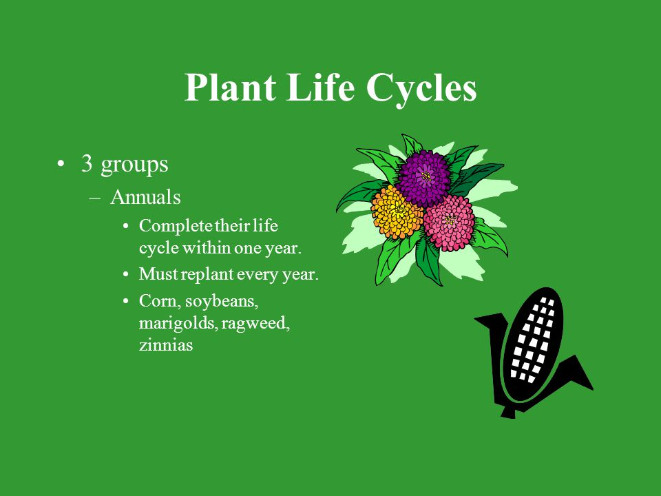 Plant Life Cycles 3 groups Annuals