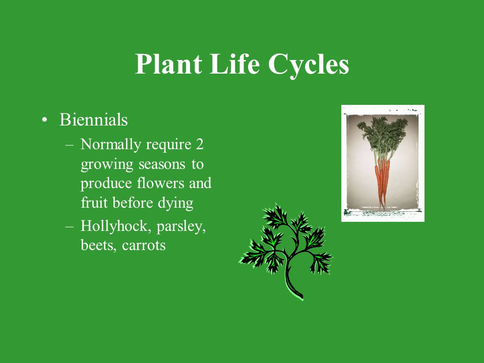 Plant Life Cycles Biennials