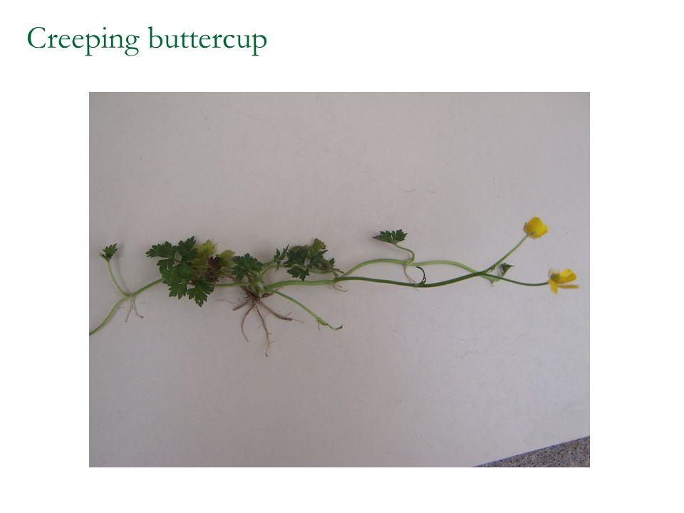 Creeping buttercup