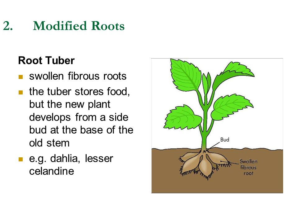 2. Modified Roots Root Tuber swollen fibrous roots