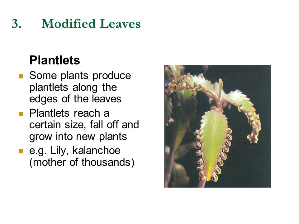 3. Modified Leaves Plantlets