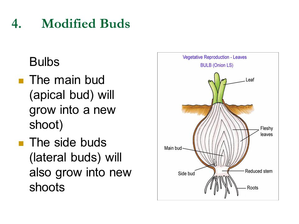 4. Modified Buds Bulbs.