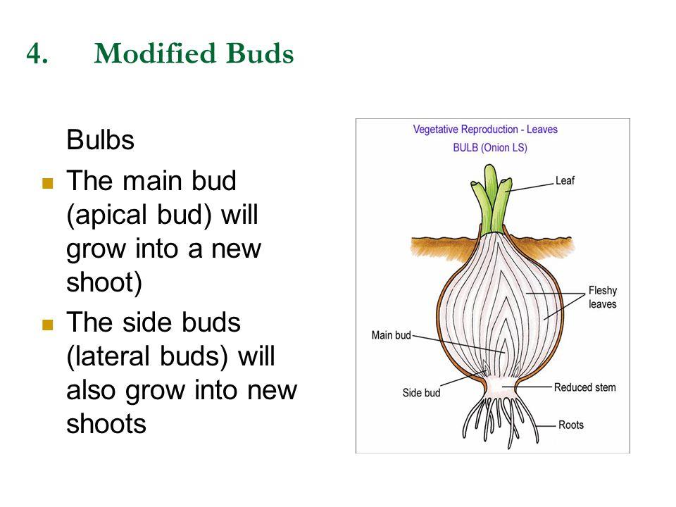 4. Modified Buds Bulbs.