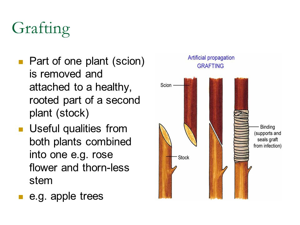 Grafting Part of one plant (scion) is removed and attached to a healthy, rooted part of a second plant (stock)