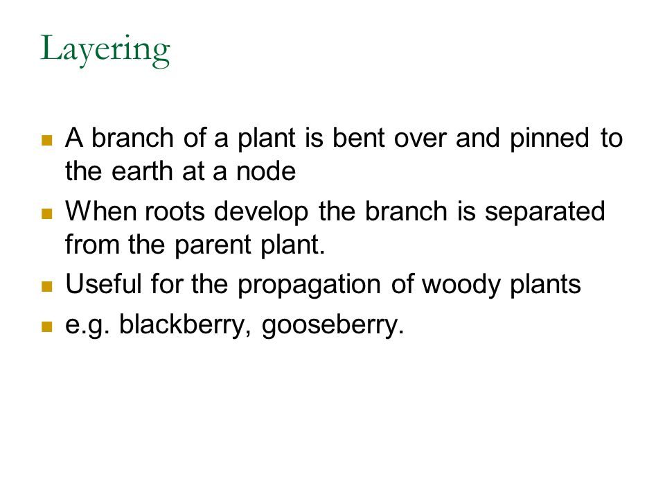 Layering A branch of a plant is bent over and pinned to the earth at a node. When roots develop the branch is separated from the parent plant.