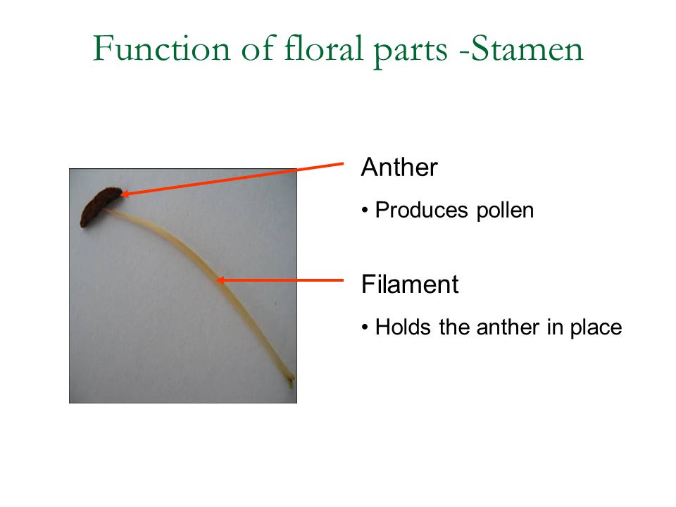Function of floral parts -Stamen