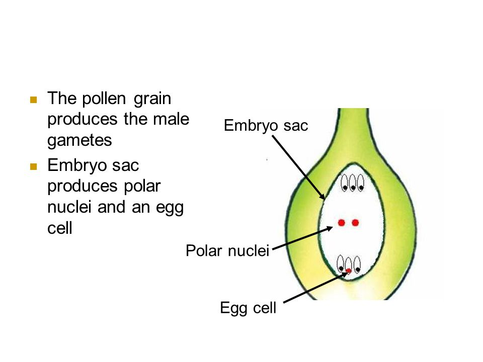 The pollen grain produces the male gametes