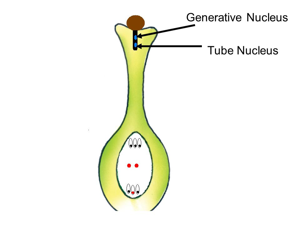 Generative Nucleus Tube Nucleus