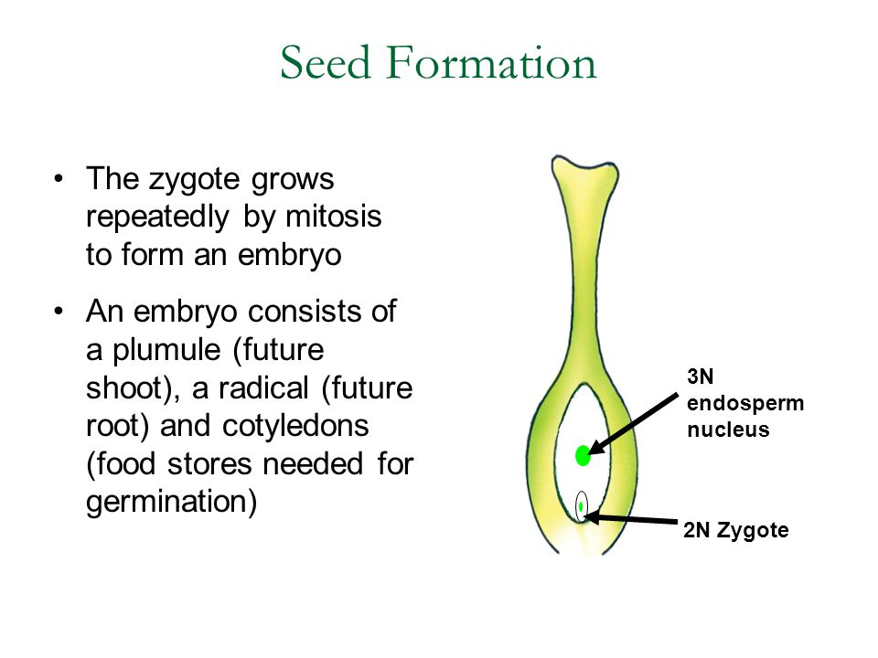 Seed Formation The zygote grows repeatedly by mitosis to form an embryo.