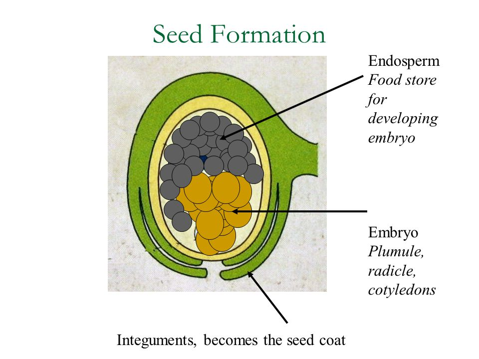 Seed Formation Endosperm Food store for developing embryo