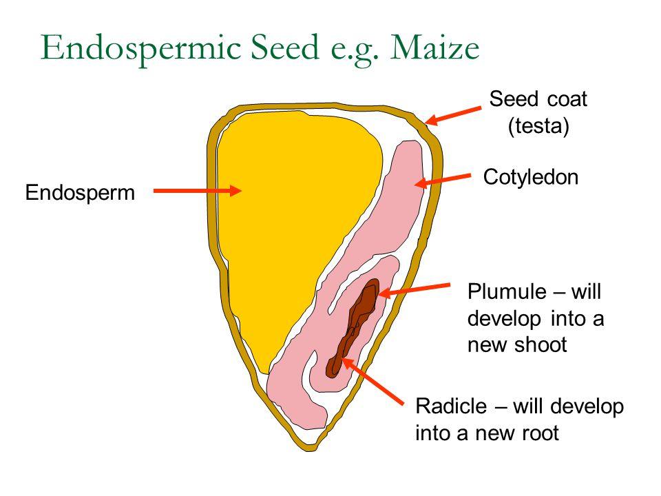 Endospermic Seed e.g. Maize
