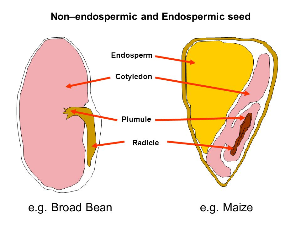 Non–endospermic and Endospermic seed