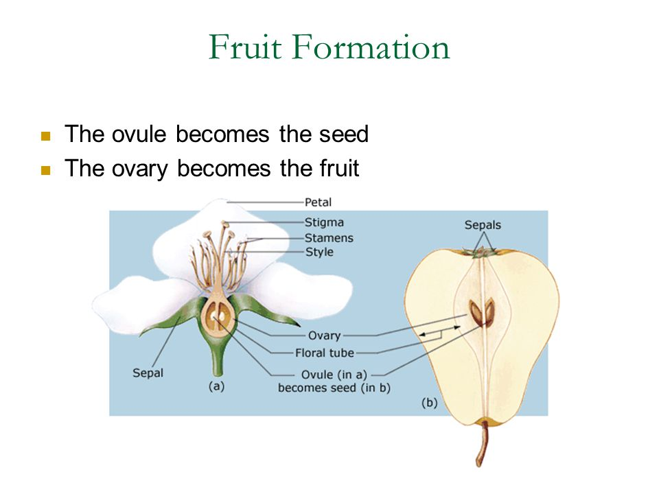 Fruit Formation The ovule becomes the seed The ovary becomes the fruit