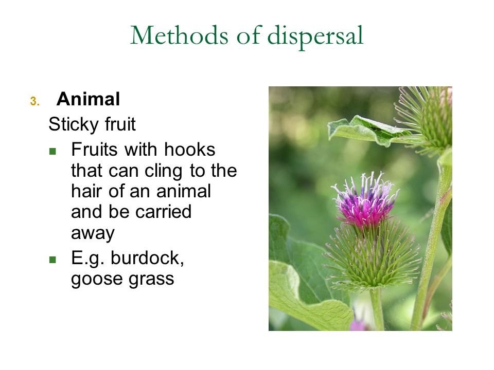 Methods of dispersal Animal Sticky fruit
