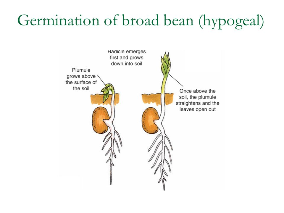 Germination of broad bean (hypogeal)