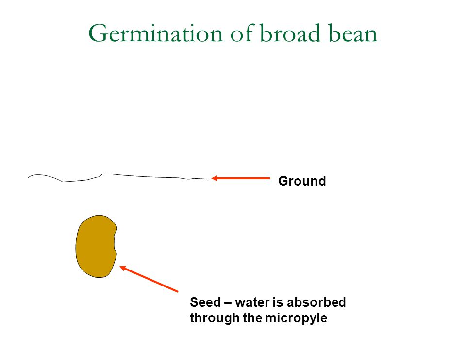 Germination of broad bean