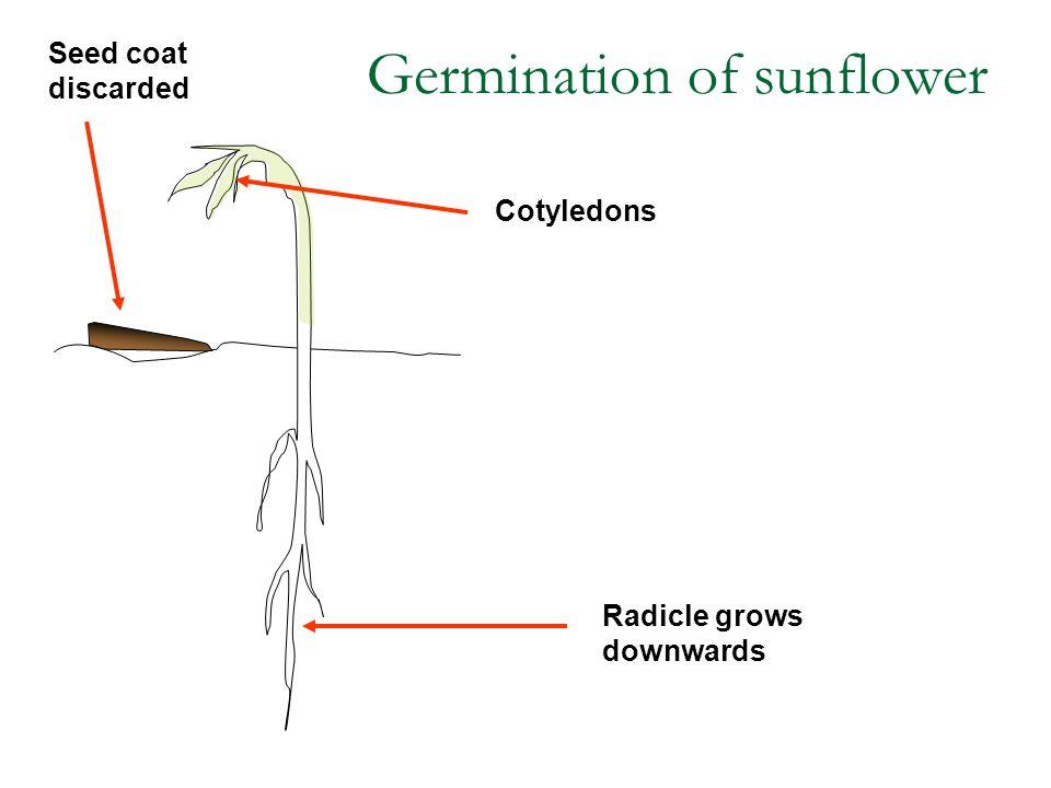 Germination of sunflower