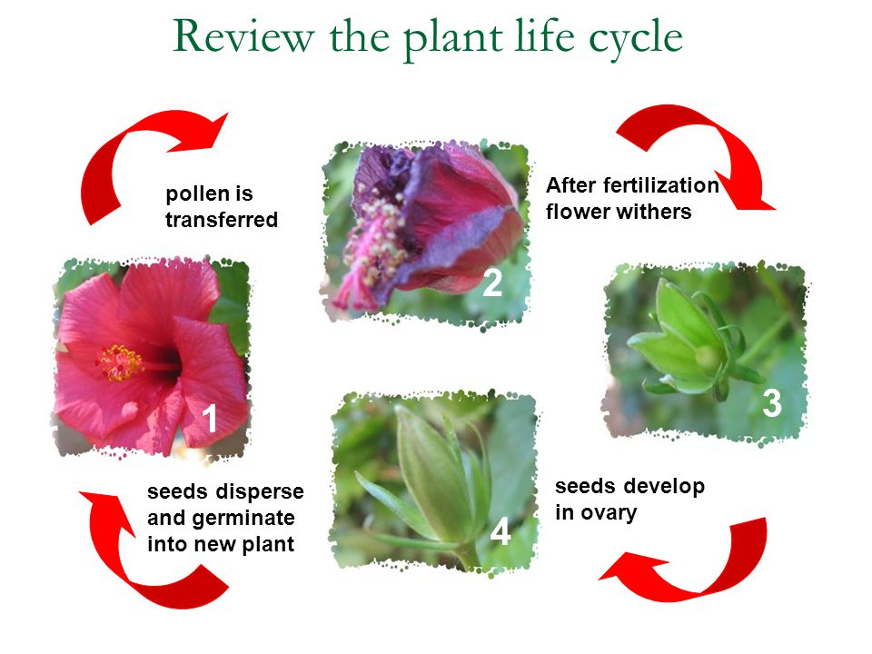 Review the plant life cycle