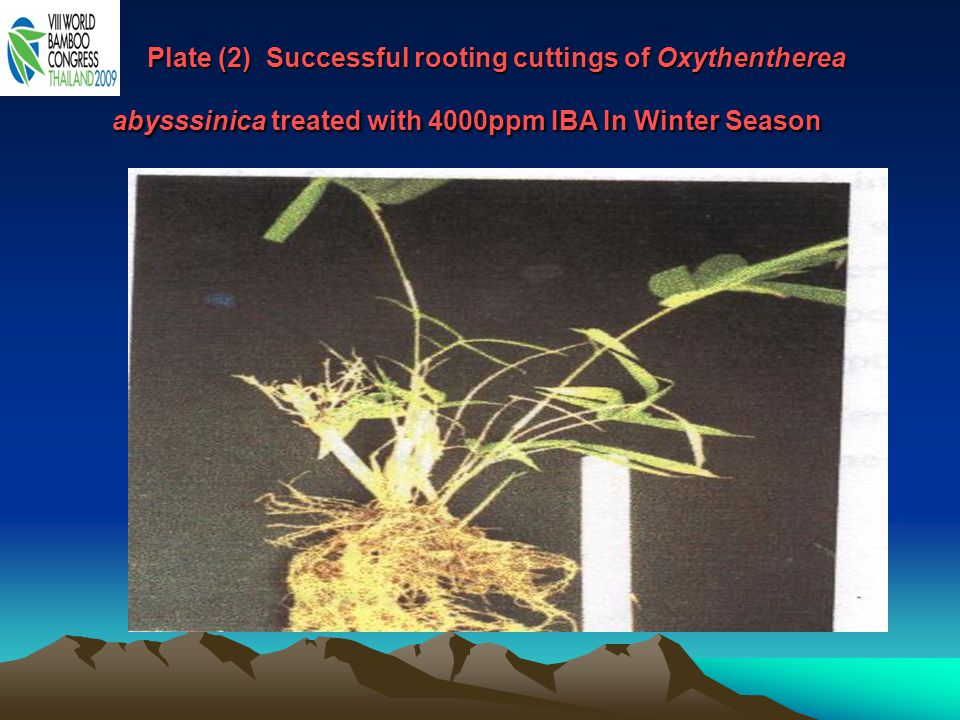 Plate (2) Successful rooting cuttings of Oxythentherea abysssinica treated with 4000ppm IBA In Winter Season