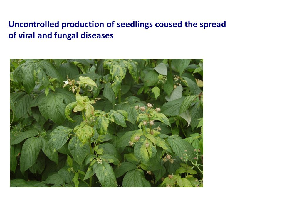 Uncontrolled production of seedlings coused the spread