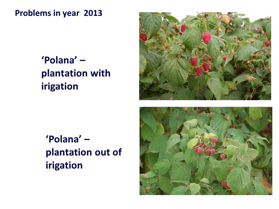 'Polana' – plantation with irigation