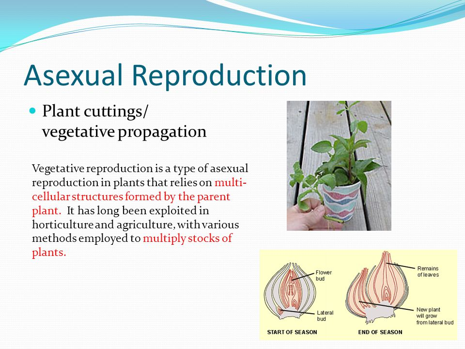 Asexual Reproduction Plant cuttings/ vegetative propagation
