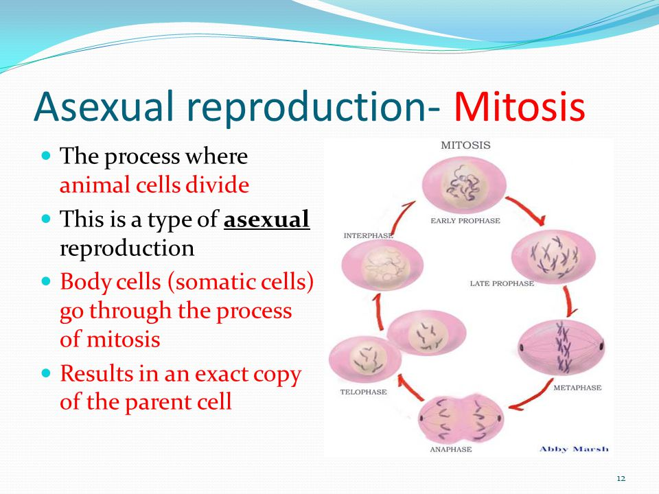 Asexual reproduction- Mitosis