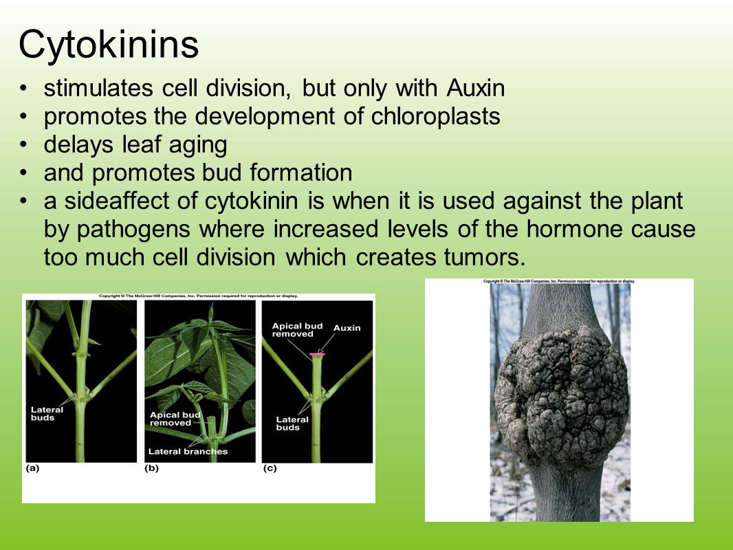 Cytokinins stimulates cell division, but only with Auxin