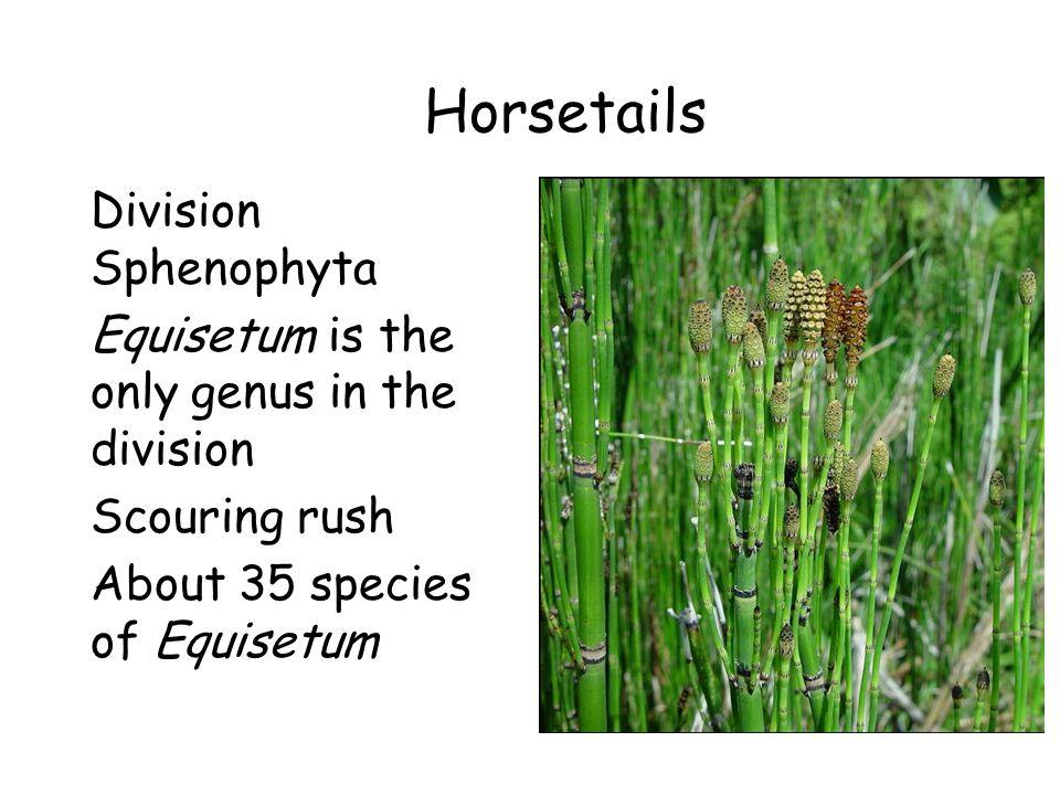 Horsetails Division Sphenophyta