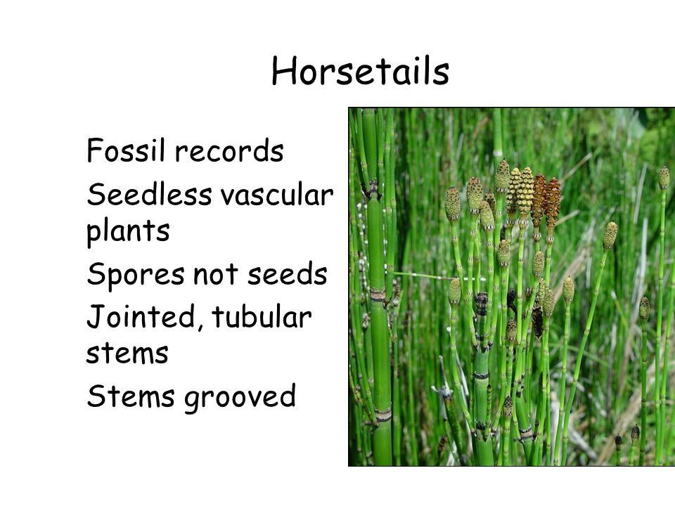 Horsetails Fossil records Seedless vascular plants Spores not seeds