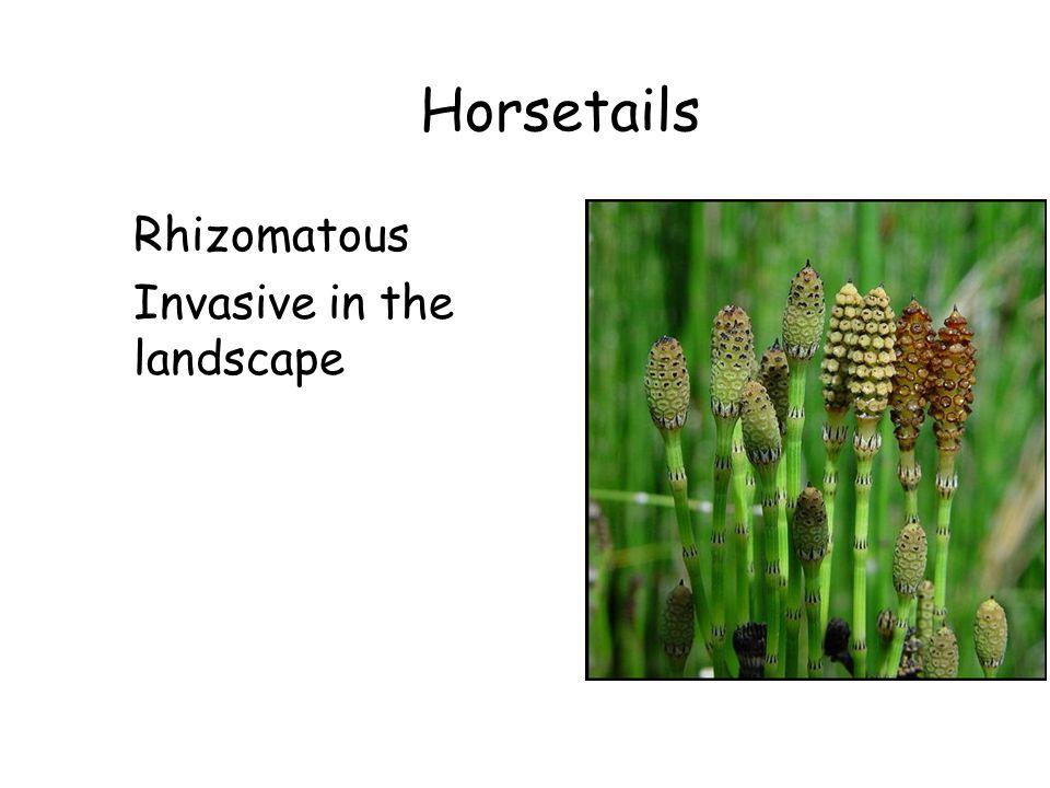 Horsetails Rhizomatous Invasive in the landscape