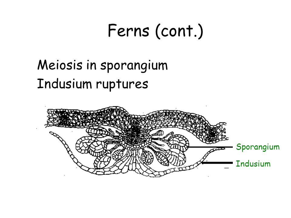 Ferns (cont.) Meiosis in sporangium Indusium ruptures Sporangium