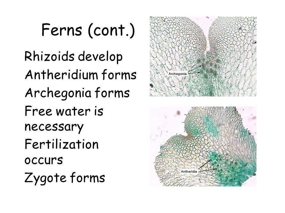 Ferns (cont.) Rhizoids develop Antheridium forms Archegonia forms