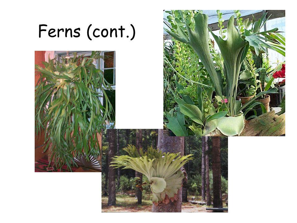 Ferns (cont.) Ferns (cont.)