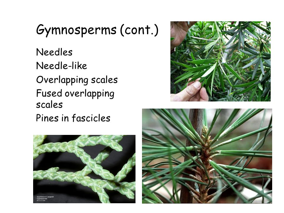 Gymnosperms (cont.) Needles Needle-like Overlapping scales