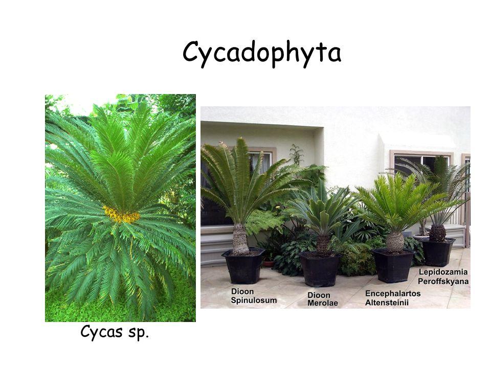 Cycadophyta Gymnosperms (cont.) Cycadophyta The Cycads Cycas sp.