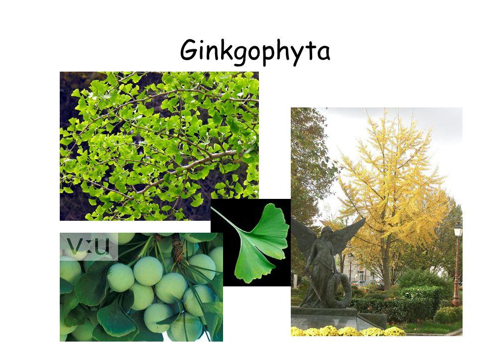 Ginkgophyta Gymnosperms (cont.) Ginkgophyta Ginkgo biloba