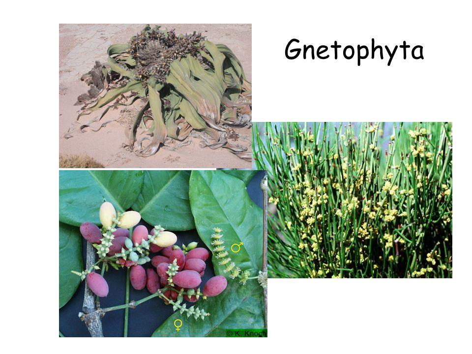 Gnetophyta Gymnosperms (cont.) Gnetophyta Gnetophytes Ephedra Gnetum