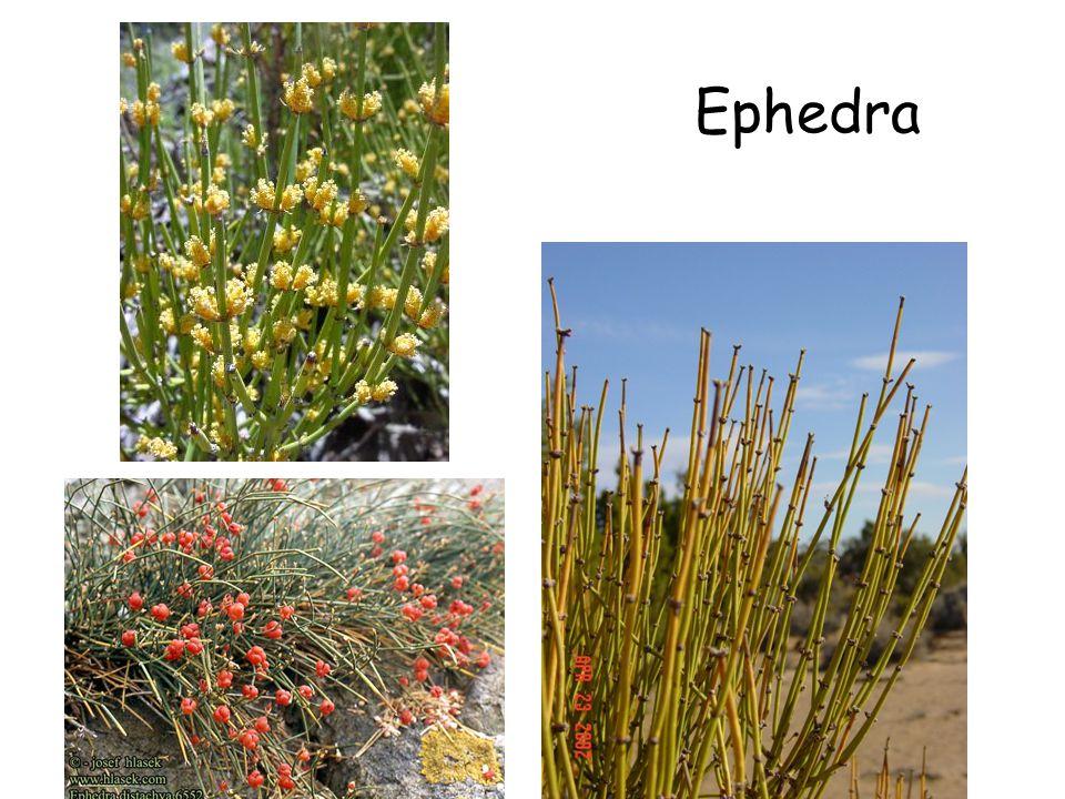 Ephedra Ephedra